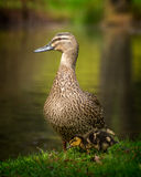 Mother and duckling Stock Images