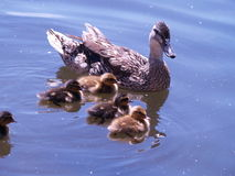 Mother and ducklings Royalty Free Stock Image