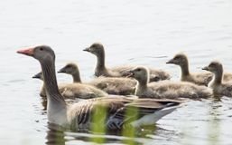 Mother with ducklings on water surface. Close-up Royalty Free Stock Photo