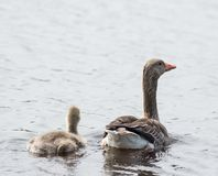 Mother with ducklings on water surface. Close-up Stock Photos