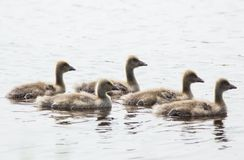 Mother with ducklings on water surface. Close-up Stock Image
