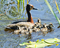 Mother and ducklings Stock Photo