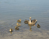 Mother and Ducklings. Young wildlife floating in pond Stock Photo