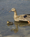 Mother and Ducklings. Young wildlife floating in pond Stock Image
