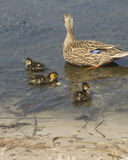Mother and Ducklings. Young wildlife floating in pond Stock Images