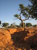 Mother Earth. Rich Warm soil beneath the tree in Mali, Africa Stock Photo