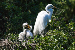 Mother Egret and Chicks Stock Photos