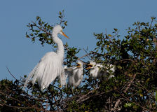 Mother egret with two hungry babies. Perch on top of bushes in their nest royalty free stock photography