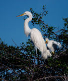 Mother egret with two offspring. Mother great white egret, in full profile,  with two offspring sit in nest Royalty Free Stock Photos