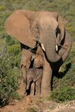 Mother Elephant And Baby Royalty Free Stock Photo