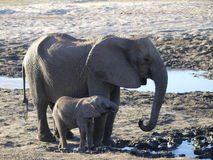 Mother Elephant and baby. Drinking and playing in mud, Chobe river, botswana Stock Photography