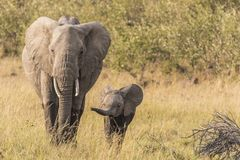 Elephant and Calf royalty free stock image