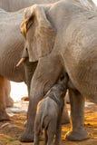 Mother Elephant with Baby in Sunset, Etosha National Park, Namibia Royalty Free Stock Image