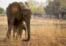 Mother elephant with calf Royalty Free Stock Image