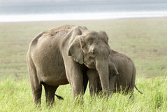 Mother elephant and calf Stock Photos