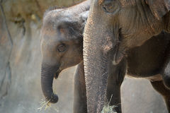 Mother Elephant with Calf Royalty Free Stock Photo