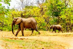 Mother Elephant with a Calf Elephant in Kruger Park in South Africa. Mother Elephant with a Calf Elephant coming from the Letaba River to go back into the forest stock photos