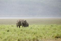 Mother elephant and a calf in the grassland Royalty Free Stock Photography