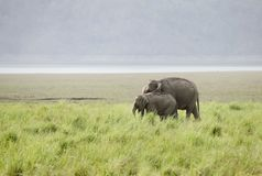 Mother elephant and a calf in the grassland of Dhikala. The Asian elephant of Jim Corbett are called as Elephas maximus Stock Image