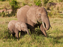 Mother elephant feeding alongside baby Royalty Free Stock Photos