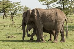 Mother and baby elephant grazing. A mother elephant and her baby grazing on the grasslands of the Maasai Mara, Kenya royalty free stock photos