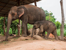 Mother elephant with her baby. Stock Images
