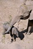 Mother elephant with her 6-day-old son stock photo
