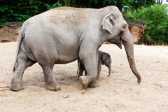 Mother elephant with her newborn baby elephant Royalty Free Stock Image
