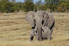 Mother elephant protecting her baby elephant stock photography