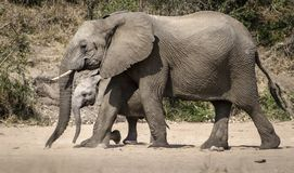 Mother elephant protecting her calf royalty free stock image