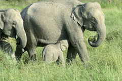 Mother elephant suckling calf Royalty Free Stock Images