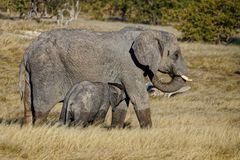 Mother elephant suckling her young stock photos