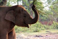 Mother elephant swatting at bugs. Elephant breeding center in nepal Stock Photos