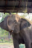 Mother elephant swatting at bugs. Elephant breeding center in nepal Royalty Free Stock Images