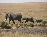 Mother elephant with two babies Stock Photo