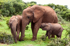 Mother Elephant Royalty Free Stock Photography