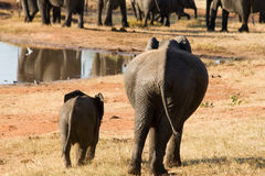 Mother Elephant with Young One. At the Waterhole Royalty Free Stock Photography