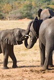 Mother Elephant and Young One Royalty Free Stock Images