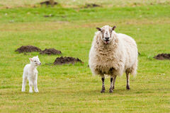 Mother Ewe Bleating With New Born Lamb Looking Royalty Free Stock Photo