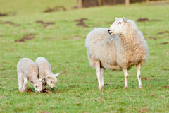 Mother Ewe Keeping a Watchful Eye on Her Lambs Royalty Free Stock Photo