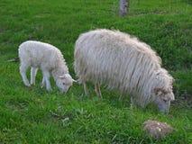 Mother ewe and lamb. Mothe ewe and lamb on a meadow Stock Image
