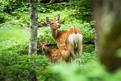 Mother Deer and Fawn in Forest, Shiretoko Stock Images