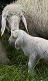 Mother får och behandla som ett barn lamben Fotografering för Bildbyråer