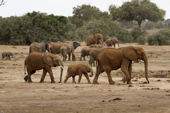 Mother, Father an Baby Elephants Stock Photo