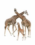 Mother, father and baby giraffe. Giraffe family with mother, father and baby on isolated white background Stock Photos