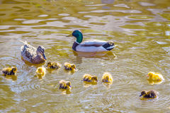 Mother and father duck with ducklings. Swimming on lake surface. Family of wild ducks swims in a pond. Ducklings with mom and dad. Ducks in a pond. Duck with Stock Image