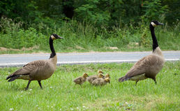 Mother and Father Goose with goslings Stock Images