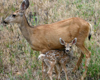 Mother & Fawn. Mule Deer Doe with her young spotted fawn Royalty Free Stock Image