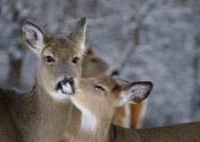 Mother and Fawn. Female White-Tail Deer with young adult deer Royalty Free Stock Image