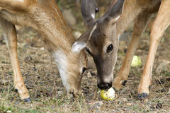 Mother an fawn eat. Royalty Free Stock Photo